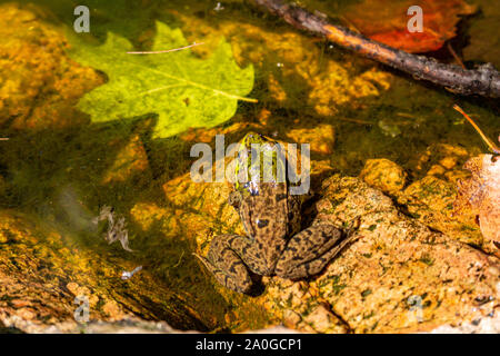 A green frog sits in a small pool of water on the rocks of a forest, with a fallen leaf floating beside it. - Stock Photo
