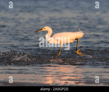 The snowy egret fishing during sunset on the Galveston beach, Texas, USA - Stock Photo