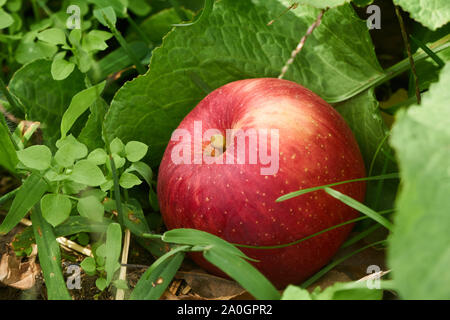 Ripe red apple (Malus domestica) in late summer, on the ground, surrounded by grasses and leaves in an orchard in rural Gunma, Japan. - Stock Photo