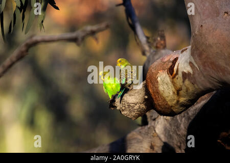 Couple of Budgerigars perching on a a branch in the afternoon light, KIngs Canyon, Northern Territory - Stock Photo