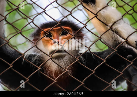 Endangered red-shanked douc (Pygathrix nemaeus) in captivity at Cuc Phoung National Park in NInh Binh, Vietnam - Stock Photo