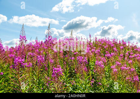 Purple Alpine fireweed. Pink-flowered Epilobium angustifolium blossom close-up. Willowherb against the blue sky - Stock Photo