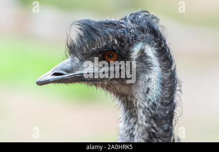 Portrait of an emu (Dromaius novaehollandiae) bird in Australia. - Stock Photo