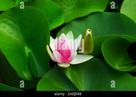 Nymphaea Gloriosa Flower - Stock Photo