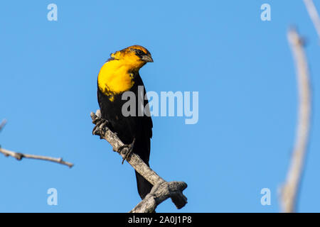 A male yellow-headed blackbird (Xanthocephalus xanthocephalus) is a medium-sized blackbird perched on a branch with blue sky background in Kelowna, Ca - Stock Photo