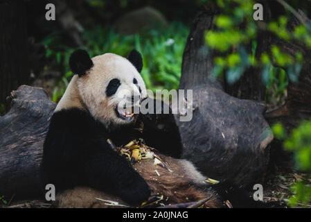 A giant panda eats bamboo in Chengdu, China. - Stock Photo