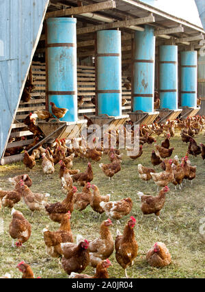 Free Range Chickens  'Gallus gallus domesticus' , orangic egg production, portable chicken houses, feeding, roost, California. - Stock Photo