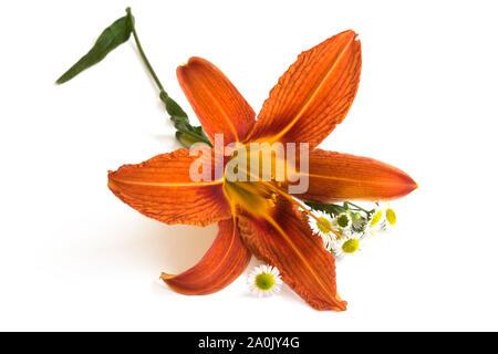 Orange lily flower isolated on white background. Flower head closeup. - Stock Photo