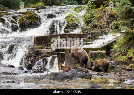 A mama grizzly coastal brown bear and her two yearling cubs climb rocks to fish for coho salmon at a waterfall in a lush green rainforest on Chichagof - Stock Photo