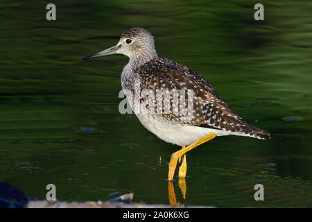 A greater yellowlegs ' Tringa melanoleuca', wading in the shallow water at the edge of a marsh pond in rural Alberta Canada. - Stock Photo
