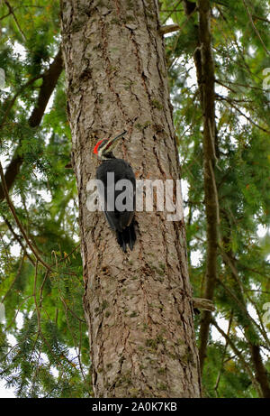 A wild pieated woodpecker (Dryocopus pileatus)  perched on the trunk of a tall tree in rural British Columbia Canada - Stock Photo