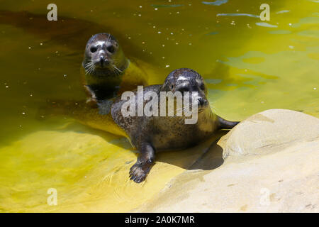 Rescued common seals (Phoca vitulina), also known as Harbor or Harbour seals at the Cornish Seal Sanctuary, Gweek, Cornwall, England, UK - Stock Photo
