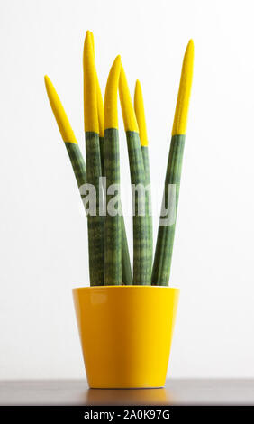 Sansevieria with yellow color. Velvet touchz is a beautiful bright plant known as the tongue of the devil and mother-in-law tongue. - Stock Photo