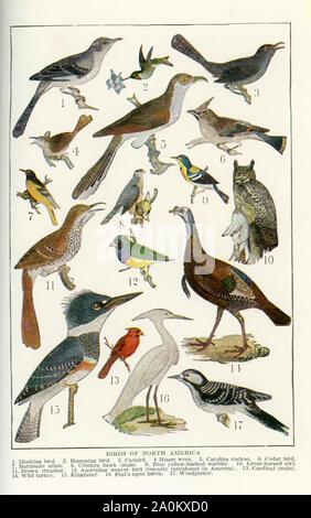 The birds shown here in the early 1920s illustration are all birds of North America. They are, from top to bottom, left to right: 1. mocking bird, 2. humming bird, 3. catbird, 4. house wren, 5. Carolina cuckoo, 6. cedar bird, 7. Baltimore oriole, 8. chicken hawk (male), 9. blue yellow-backed warbler, 10. great-horned owl, 11. brown thrasher, 12. Australian weaver bird (recently introduced in America), 13. cardinal (male), 14. wild turkey, 15. kingfisher, 16. Peal's egret heron, 17. woodpecker. - Stock Photo