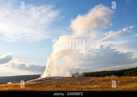 Old Faithful erupts during sunset at Yellowstone National Park in Wyoming, USA. The famous geyser erupts at an average interval of 90 mins, expelling