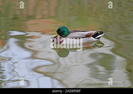 male mallard or duck or drake close up Latin name Anas platyrhynchos swimming on a river in Oxford England - Stock Photo