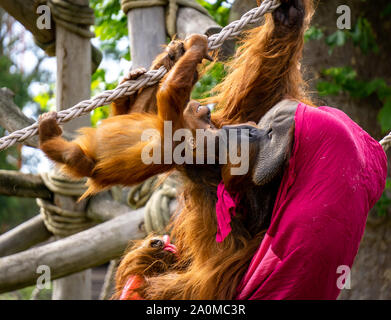 Baby orangutan playing with his father draped in a magenta blanket, who lovingly kisses his son on the forehead. - Stock Photo