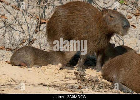 Capybara family in the Pantanal in southern Brazil; young capybaras nursing - Stock Photo