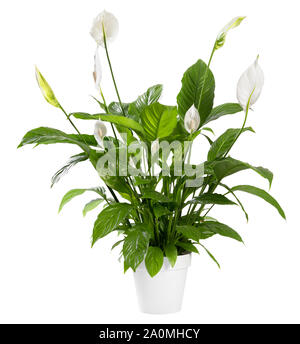 Potted Spathiphyllum plant with delicate white flowers with ornamental spathes also known as the Peace lily isolated over white background - Stock Photo