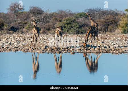 A group of Angolan Giraffe - Giraffa giraffa angolensis- drinking from a waterhole, while being reflected in the surface of the water. Etosha National Park, Namibia. - Stock Photo