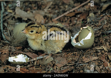 PHEASANT  young  chick. (Phasianus colchicus). Newly emerged from egg. Eample of nidifugous or precocial young in birds. - Stock Photo