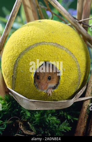 HARVEST MOUSE using tennis ball (Micromys minutus)    as refuge/nest (staged) in reed bed - Stock Photo