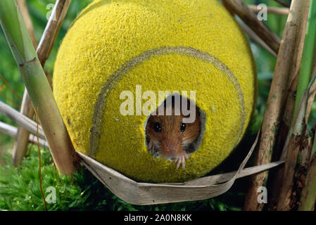 HARVEST MOUSE  using tennis ball (Micromys minutus),    as refuge/nest (staged) in reed bed. - Stock Photo