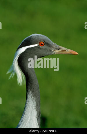 DEMOISELLE CRANE Anthropoides virgo. Portrait. - Stock Photo