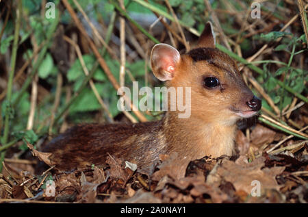 REEVE'S MUNTJAC fawn, 24 hours old (Muntiacus reevesi). Eye contact. - Stock Photo
