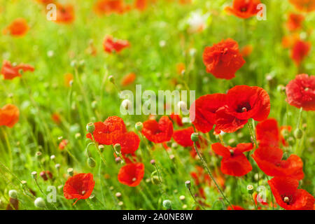 Red poppy flowers blossom on green grass blurred bokeh background close up, beautiful poppies field in bloom sunny summer day landscape, spring nature - Stock Photo