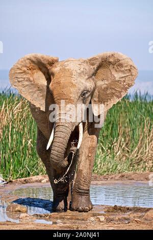 Addo Elephant Park - Stock Photo
