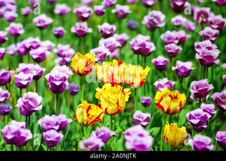 Red, yellow and purple tulips flowers on blurred bokeh background close up, beautiful summer nature blooming tulips field, colorful spring season - Stock Photo