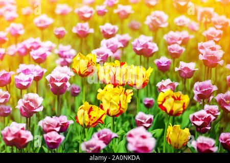 Red, yellow and purple tulips flowers on sunny blurred background close up, summer blooming tulips field colorful spring flowers blossom with sunlight - Stock Photo