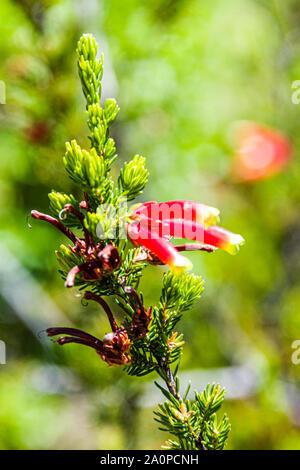 University of California at Santa Cruz Arboretum, Hummingbird Heath - Stock Photo