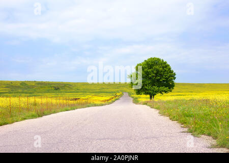 Empty rural road among green fields with yellow flowers and a lonely big green tree with a beautiful round crown on the right side on a blue sky with - Stock Photo