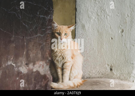 Stray Sad Ginger Cat on street looking at camera. Close-up homeless abandoned cat portrait - Stock Photo
