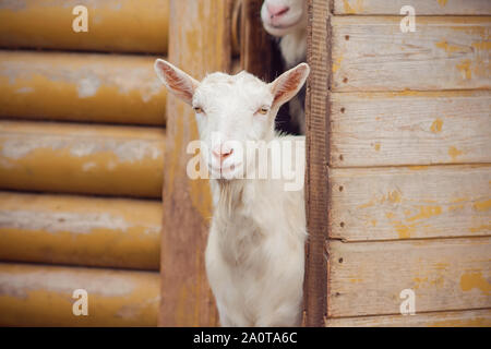 A white, sweet, inquisitive goat peeped out from the yellow old barn in the village where the rest of the herd sits. - Stock Photo