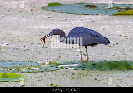 Little blue heron (Egretta caerulea) hunting tadpoles in forest swamp, balancing on lotus leaves Brazos Bend State Park, Texas, USA. - Stock Photo