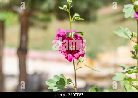Malva Sylvestris. Blooming musk mallow (Malva alcea, cut-leaved mallow, vervain mallow or hollyhock mallow) in summer - Stock Photo