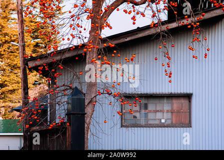 DEC 3, 2018 Kakunodate, Japan - Colourful autumn persimmon Japanese Kaki fruits tree with local pastel blue Japanese house. - Stock Photo