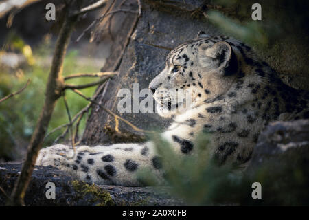 An adult snow leopard rests in the the undergrowth but keeps a watchful eye on her surroundings. - Stock Photo