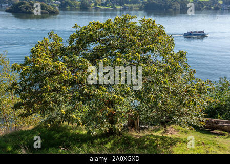 Castanea sativa, or Sweet chestnut tree. - Stock Photo