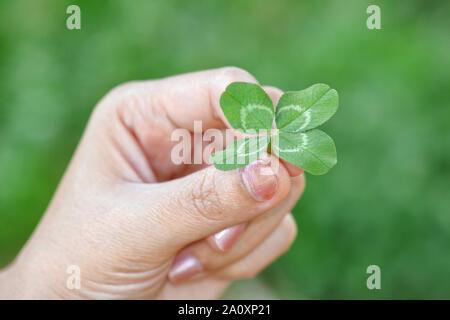 Four leaf lucky clover (White/Dutch clover : Trifolium repens) to you - Stock Photo