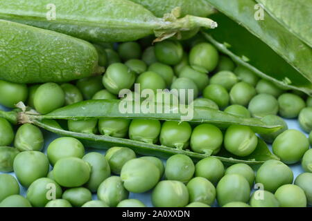 Pisum sativum 'Alderman'. Freshly harvested homegrown garden peas in their pods. UK - Stock Photo