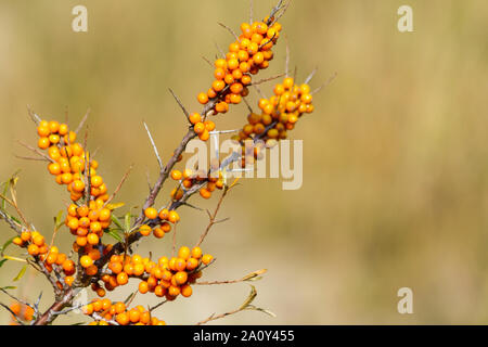 Twig of sea-buckthorn (Hippophae rhamnoides) with ripe berries growing on the island of Juist, East Frisia, Germany - Stock Photo