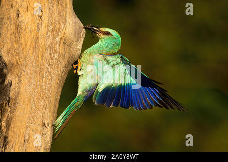 European roller holding frog in beak and landing on nest to feed young. - Stock Photo