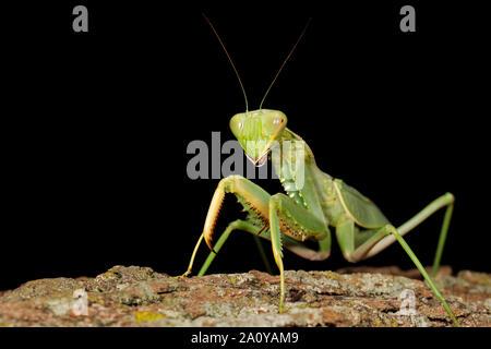 Common green mantis (Sphodromantis gastrica) on a branch, South Africa - Stock Photo