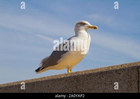 Yellow-legged Gull (Larus michahellis), perched on a wall - Stock Photo