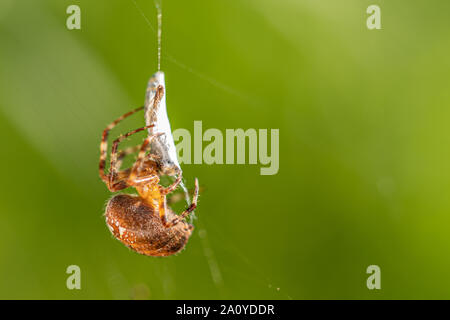 a big cross spider has caught a wasp as prey in its spider web and is now spinning it in - Stock Photo