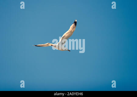 Flying seagull against the blue sky in sunny weather. A bird soars spreading its wings, like an airplane. - Stock Photo